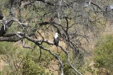 Botswana - Schreiseeadler