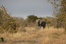 Botswana - Elefant und Giraffe in der Moremi-Region