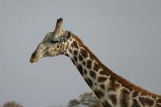 Botswana - Giraffe in der Moremi-Region