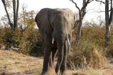 Botswana - Elefant in der Moremi-Region