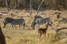 Botswana - Zebras in der Moremi-Region