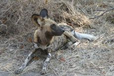 Botswana - Afrikanischer Wildhund in der Moremi-Region