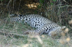 Botswana - Leopard nach erfolgreicher Jagd
