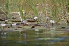 Botswana - Seerosen im Okavangodelta