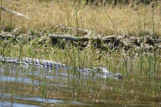 Botswana - Krokodil im Okavangodelta