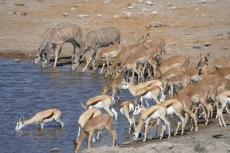 Namibia - Verschiedene Antilopen im Etosha-Nationalpark