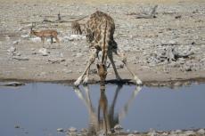 Namibia - Trinkende Giraffe im Etosha-Nationalpark