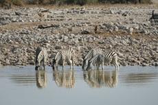 Namibia - Zebras am Wasserloch von Okaukuejo