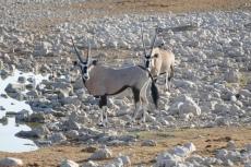 Namibia - Oryx-Antilopen am Wasserloch von Okaukuejo
