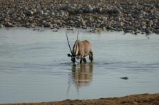 Namibia - Oryx-Antilope am Wasserloch von Okaukuejo
