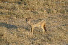 Namibia - Schakal im Etosha-Nationalpark