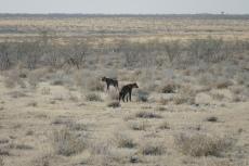 Namibia - Hyänen im Etosha-Nationalpark