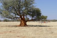 Namibia - Ein Baum wächst aus einem Termitenhügel