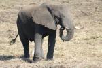 Botswana - Elefant im Chobe-Nationalpark
