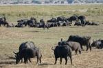 Botswana - Büffel im Chobe-Nationalpark