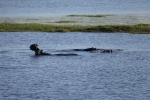 Botswana - Flusspferde im Chobe-Nationalpark