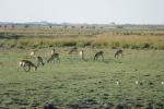 Botswana - Impalas im Chobe-Nationalpark