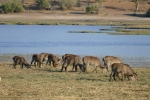 Botswana - Wasserböcke im Chobe-Nationalpark