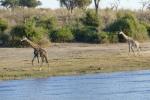 Botswana - Giraffe im Chobe-Nationalpark