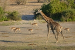 Botswana - Giraffe mit Impalas im Chobe-Nationalpark