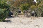 Botswana - Elefanten auf dem Weg nach Nata
