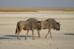 Botswana - Gnus in der Makgadigadi-Salzpfanne