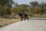 Botswana - Ein männlicher Wasserbock