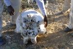 Botswana - Elefantenschädel
