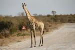 Botswana - Giraffen haben Vorfahrt