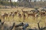 Botswana - Impalas in der Moremi-Region