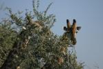Botswana - Giraffen in der Moremi-Region