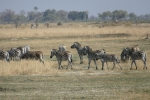 Botswana - Zebras auf einer Insel im Okavangodelta