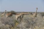 Namibia - Giraffen im Etosha-Nationalpark