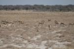Namibia - Springböcke im Etosha-Nationalpark