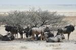Namibia - Gnus im Etosha-Nationalpark