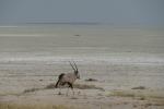 Namibia - Oryx-Antilope auf dem Weg in die Etosha-Salzpfanne