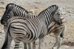 Namibia - Zebras im Etosha-Nationalpark