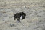 Namibia - Strauß im Etosha-Nationalpark