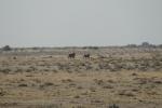 Namibia - Löwen im Etosha-Nationalpark