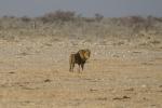 Namibia - Löwe im Etosha-Nationalpark