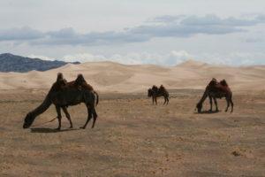 Mongolei – Die Sanddünen von Khongoryn Els