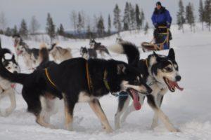 Lapplands Drag – Geführte Huskytour: Tag 3