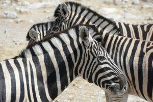 Afrika 2017: Im Etosha-Nationalpark